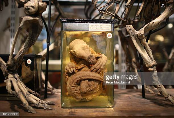 A young preserved aardvark is displayed under the skeleton of an adult at The Grant Museum of Zoology on September 4 2012 in London England...
