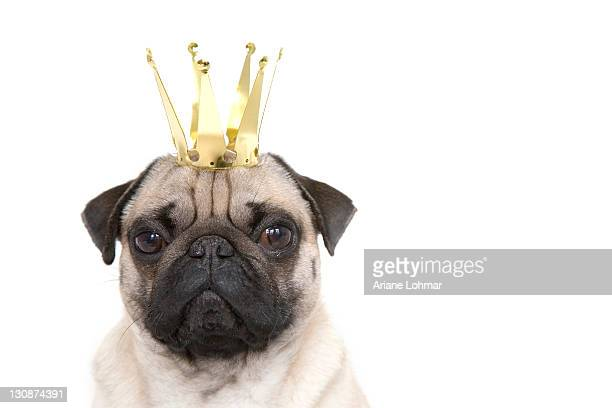 Young pug with crown, portrait