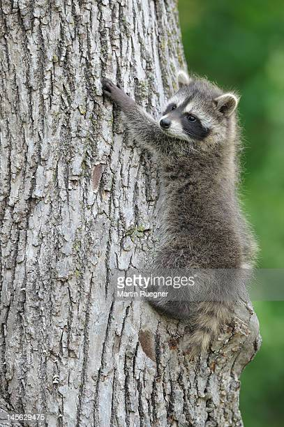 Young raccoon (Procyon lotor) climbing a tree