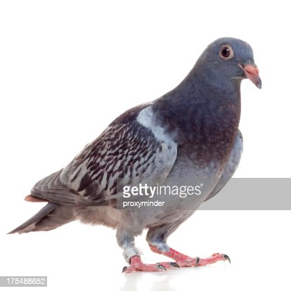 Young Racing Pigeon isolated on white