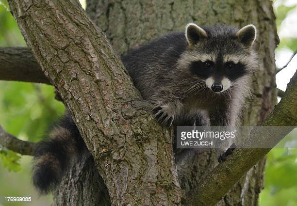 A young racoon sits on a tree at the wildlife park Edersee in EdertalHemfurth western Germany on August 20 2013 AFP PHOTO /DPA/ UWE ZUCCHI GERMANY OUT