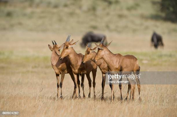 Young Red Hartebeest, Auob Wadi, Kgalagadi National Park, Kalahari, South Africa