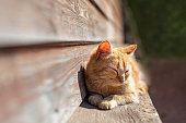 Young red kitten lying on the sun