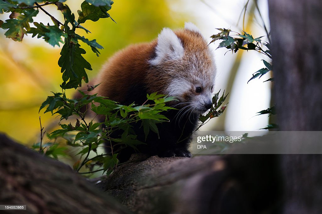 A young red panda climbs on a branch on October 22, 2012 at the zoo in Dresden, eastern Germany. The animal was born on June 30, 2012 at the zoo and is allowed now to explore it's open air enclosure.