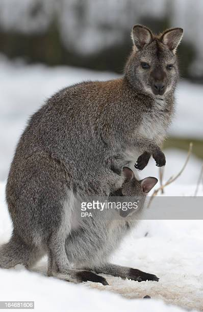 Wallaby Pouch Wallaby Stock Photos a...