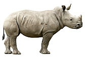 Young Rhino with path
