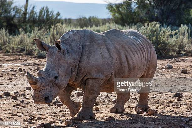 A young rhinoceros walks in the Inverdoorn Game Reserve Stretching across 10 000 hectares Inverdoorn is one of the largest private wildlife reserves...