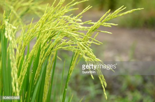 Young rice field. : Stock Photo