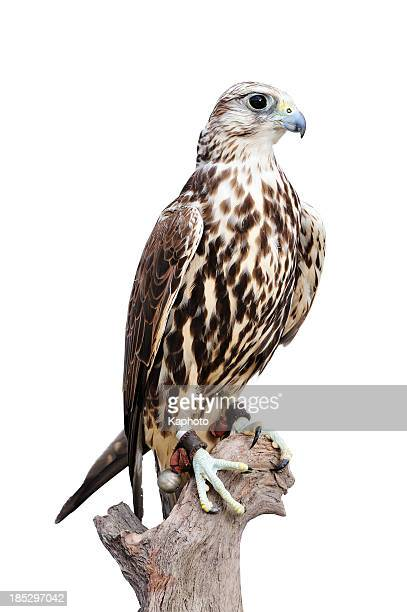 A young saker falcon standing on a wood