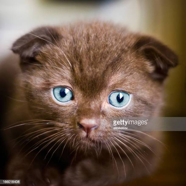 Young scottish-fold cat looking into camera