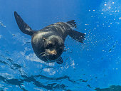 Facial view of a young sea lion as it dives down from the surface, against a blue background.