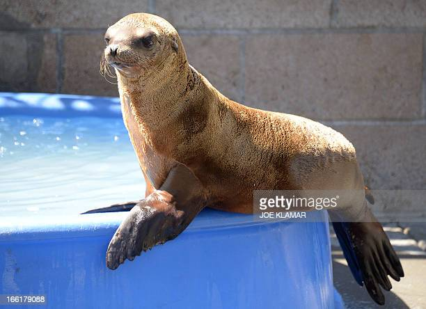 A young sea lion recovers at the Marine Mammal Care Center at Fort MacArthur on April 9 2013 in San Pedro California Sickly emaciated sea lion pups...