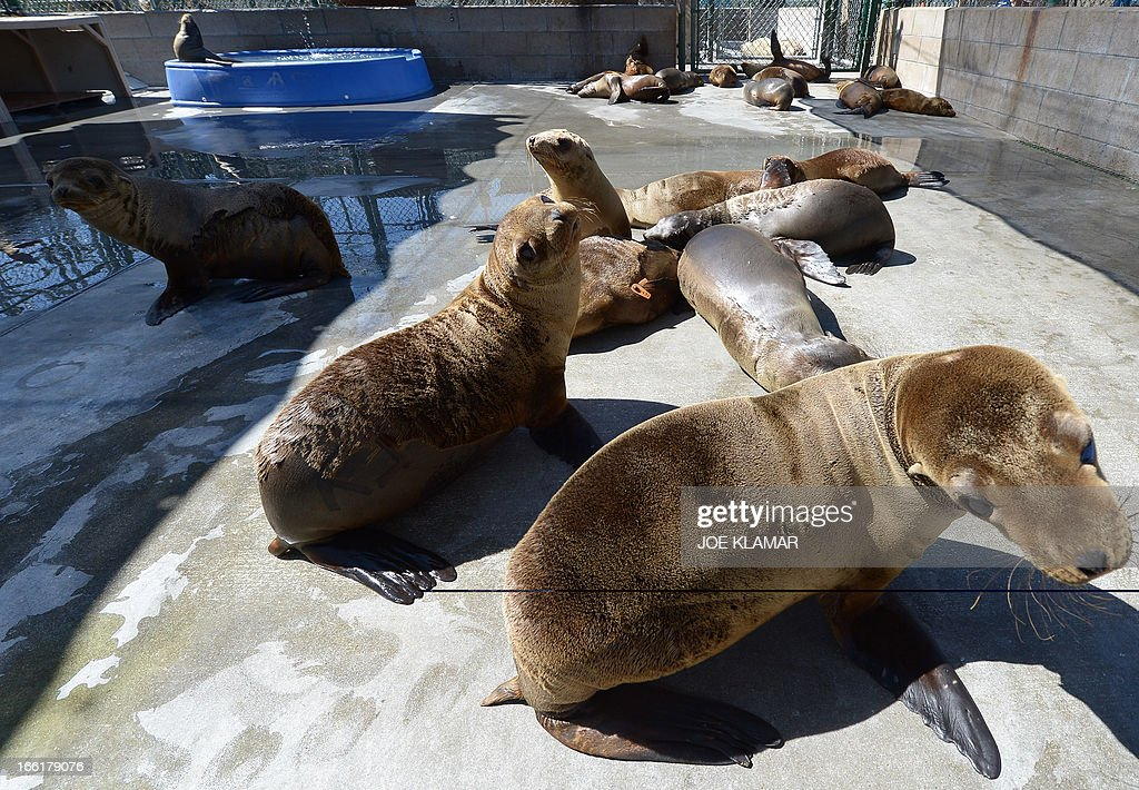 Young sea lions recover at the Marine Mammal Care Center at Fort MacArthur on April 9, 2013 in San Pedro, California. Sickly emaciated sea lion pups have been turning up on California's coastline in unusually high numbers since January - with live strandings nearly three times higher than the historical average.
