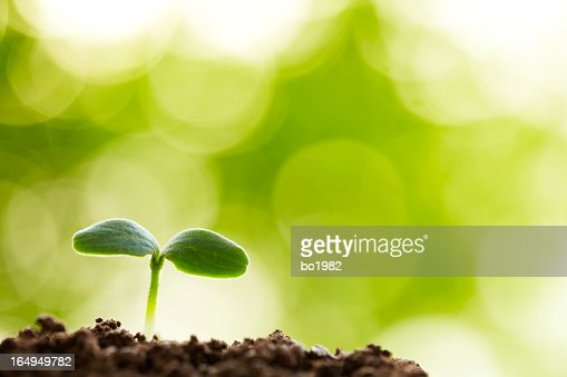 A young seedling sprouting from the earth