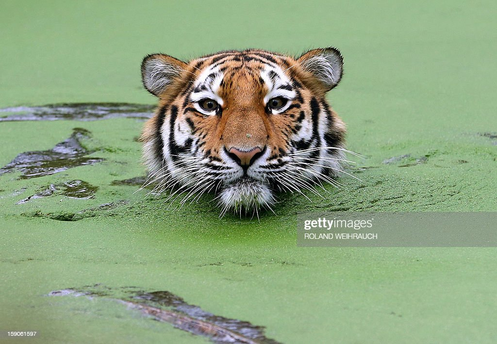 A young Siberian tiger (Panthera tigris altaica) swims in its outdoor enclosure on January 7, 2013 at the zoo in Duisburg, western Germany.