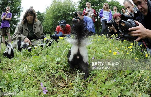 A young skunk is in the focus of photographer's attention during his presentation at the Tierpark Friedrichsfelde zoo in Berlin on June 15 2010 Ten...