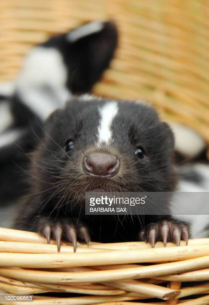 A young skunk peers out of a basket during their presentation at the Tierpark Friedrichsfelde zoo in Berlin on June 15 2010 Ten skunks were born at...
