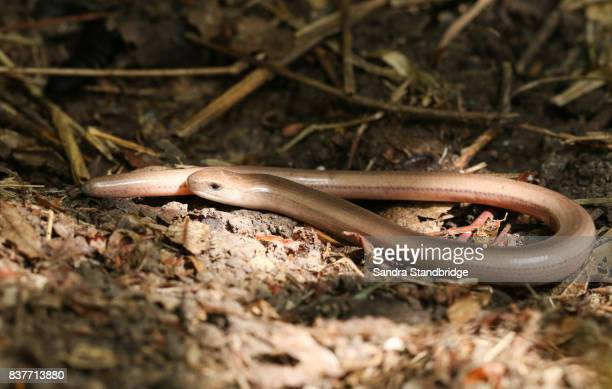 A young Slow-worm (Anguis fragilis) hunting in the undergrowth.