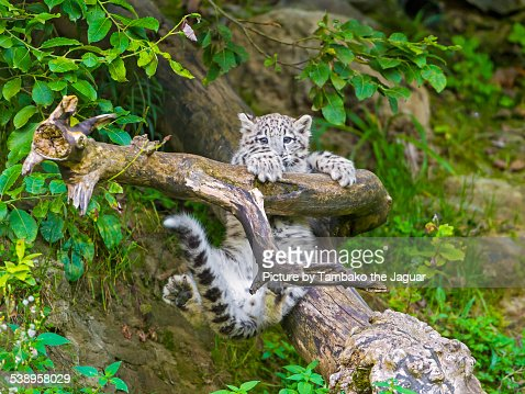 Young snow leopard holding on branch
