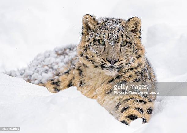 Young snow leopard in the snow