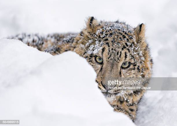 Young snow leopard lying in the snow