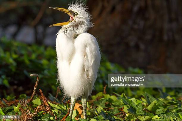 Young snowy egret