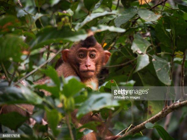 Young southern pig-tailed macaque (Macaca nemestrina) in riverine jungle, Sabah, Borneo