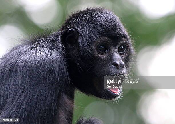 Young Spider Monkey Looking Surprised