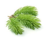 Young sprig of spruce isolated on white background