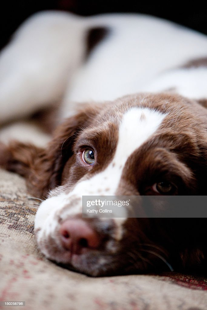 Young Springer Spaniel waiting : Stock Photo