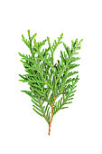 Young sprout of green thuja or arborvitae isolated on white background. Macro.