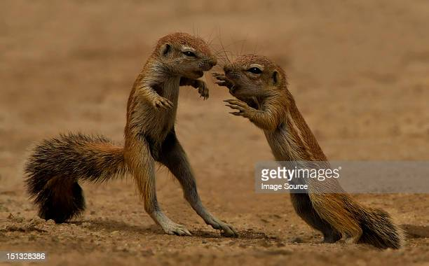 Young squirrels at play, Kgalagadi Transfrontier Park, Africa