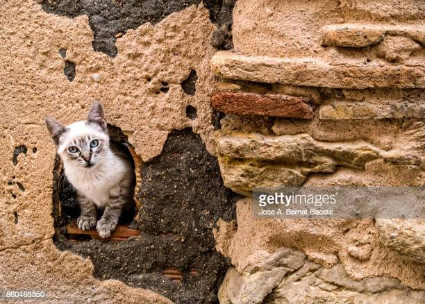 Young street cat, extracting the head for the hole of a former wall in the street