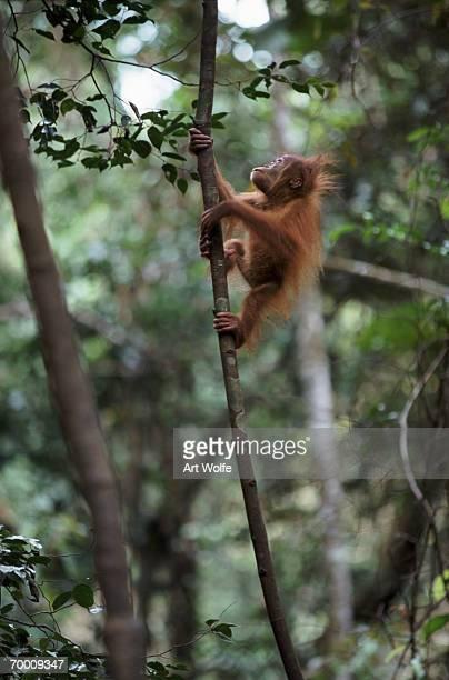 Young Sumatran orangutan (PONGO ABELII) climbing, Indonesia