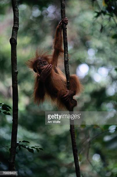 Young Sumatran orangutan (Pongo pongo abelii) Indonesia