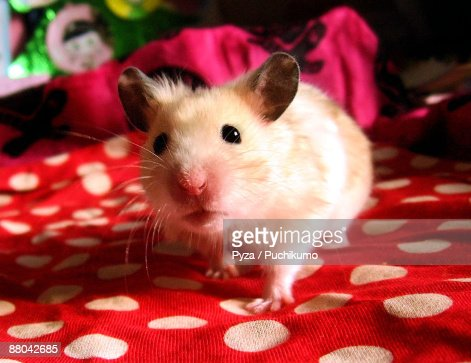 Young syrian hamster : Stock Photo