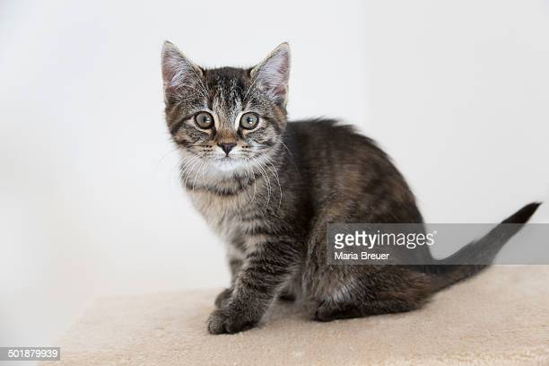 Young tabby domestic cat, kitten