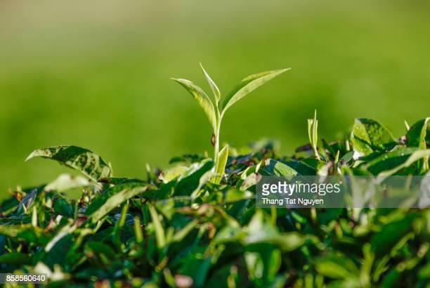 Young tea leaf