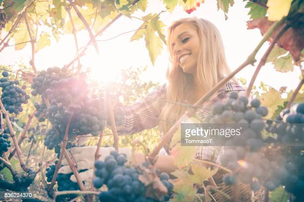 Jonge tiener met blond haar oogsten van druiven onder stralende zon