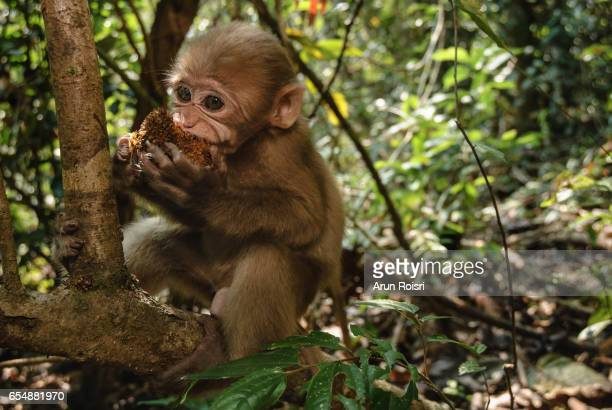 Young : The Assam macaque is a macaque of the Old World monkey family native to South and Southeast Asia.