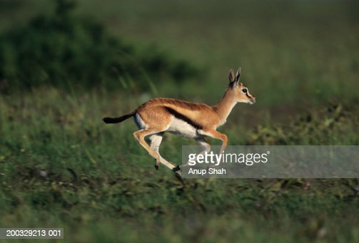 Gazelle Stock Photos and Pictures | Getty Images