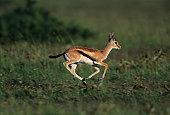 Young Thomson's gazelle (Gazella thomsoni) running on savannah, Kenya