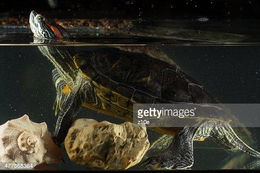 Young turtle sitting in aquarium : Stock Photo