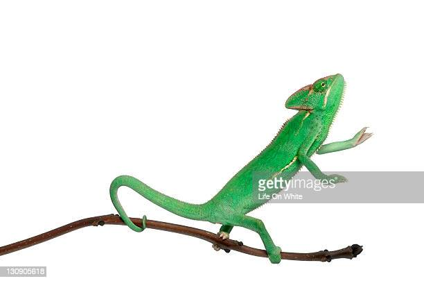 Young veiled chameleon