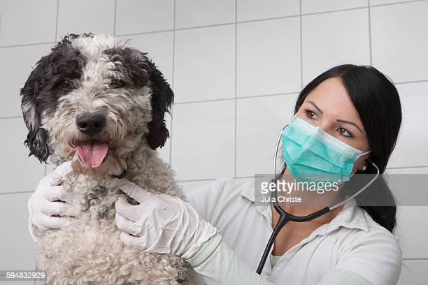 Young veterinarian examining dog in clinic
