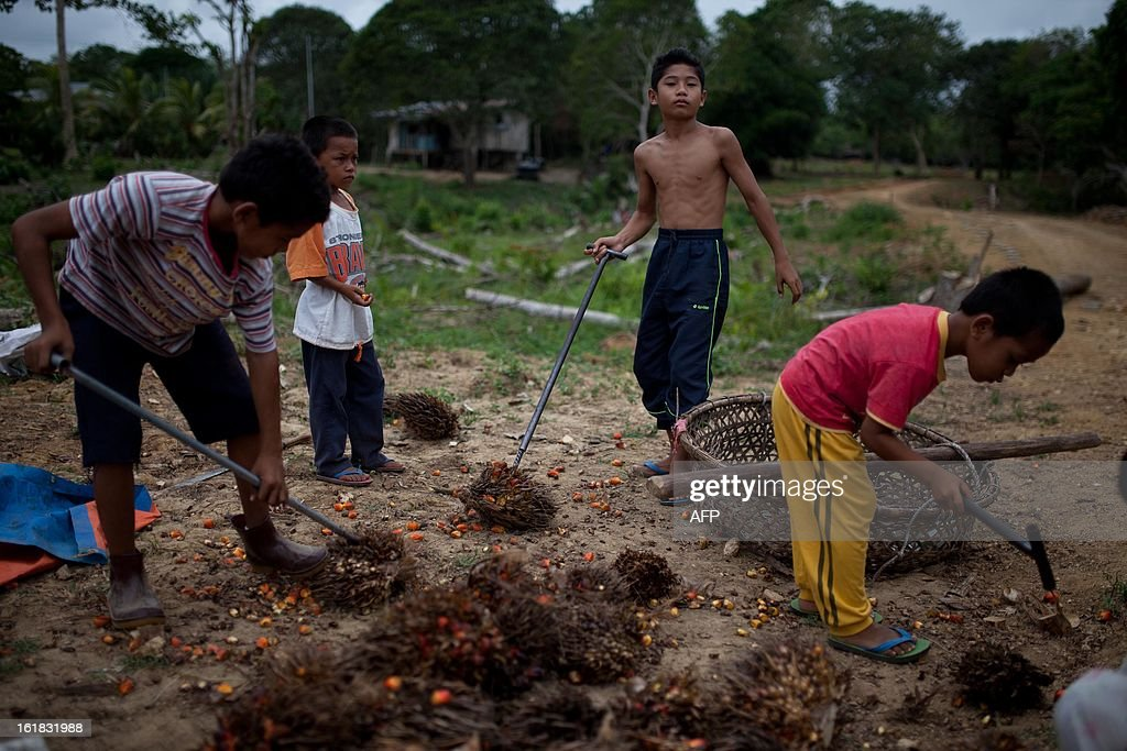 Young villagers work on oil palm fruit in Tanjung Labian in the area where suspected Philippine militants are holding off, near Lahad Datu on the Malaysian island of Borneo, on February 17, 2013. Malaysia's government said on February 14 that its security forces have surrounded dozens of suspected Philippine militants in a remote area with a history of incursions by armed Filipino Islamic groups.