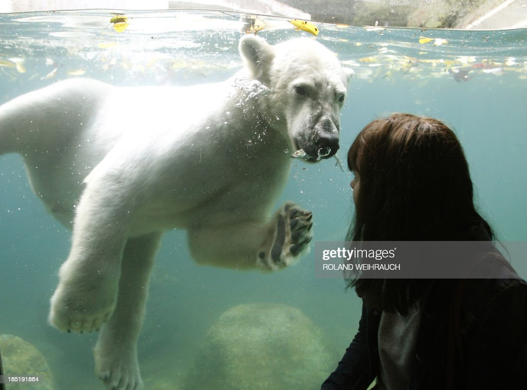 A young visitor looks at two-years old polar bear 'Luka' swimming in a pool at the zoo in Wuppertal, western Germany, on October 18, 2013. Luka came to Wuppertal from the Ouwehands Dierenpark animal park in the Netherlands. AFP PHOTO / DPA / ROLAND WEIHRAUCH / GERMANY OUT