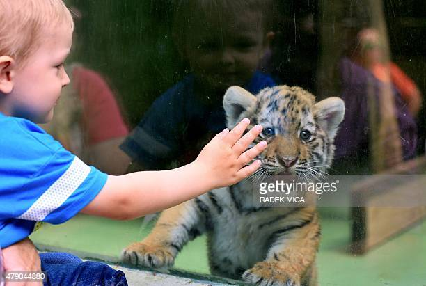 A young visitor tries to caress one of two Siberian tiger cubs being held behind a glass window during their first outing at the zoo of Olomouc Czech...