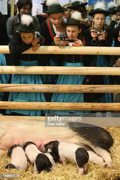 Young visitors dressed in Bavarian regional dress from the Chiemsee region photograph suckling piglets at the 2013 Gruene Woche agricultural trade...