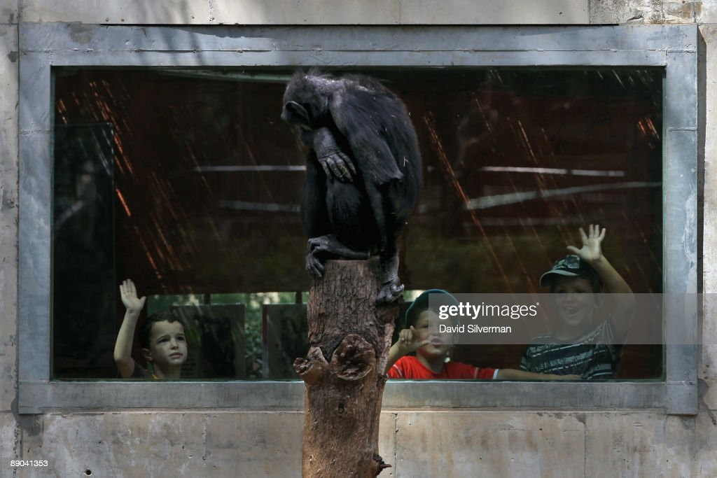 Young visitors try to catch the attention of a chimpanzee sitting on a tree stump at the Safari Park zoo on July 15, 2009 in Ramat Gan, Israel.